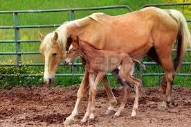 cucciolo di cavallo