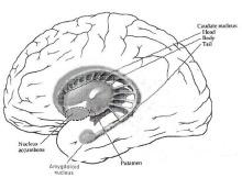 BrainMindcomBasalGanglia1